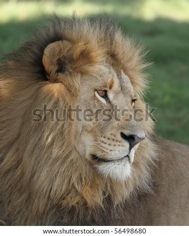 Male lion close up #2 - stock photo