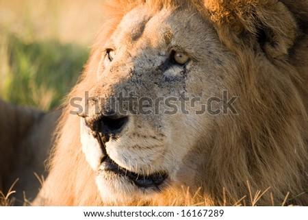 Male Lion close up (Pantera Leo) - stock photo