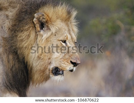 Male Lion close up, South Africa