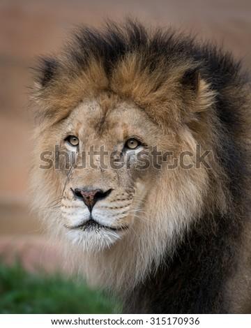 Male lion closeup portrait - stock photo