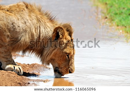 Male Lion Drinking - stock photo