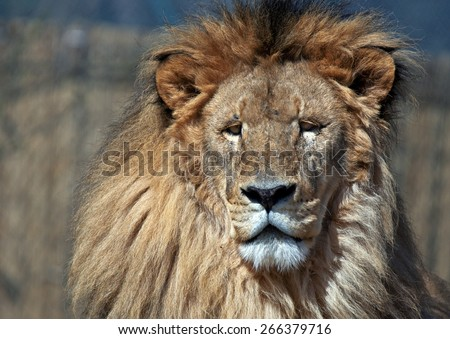 male lion face close up - stock photo