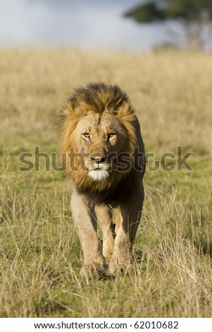 Male lion head on