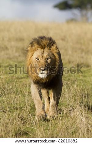 Male lion head on - stock photo