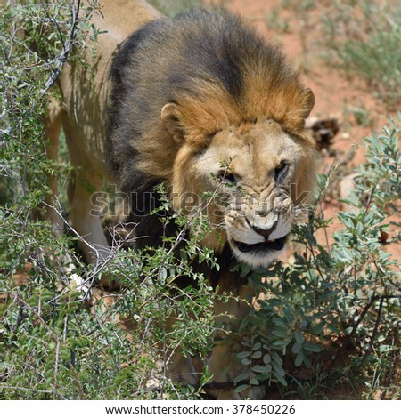 Male lion hiding in the bushes and growls, African savanna, Namibia. - stock photo