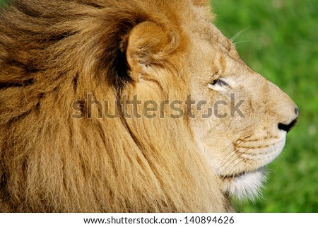 Male lion: Highly distinctive, the male lion is easily recognized by its mane, and its face is one of the most widely recognized animal symbols in human culture. - stock photo