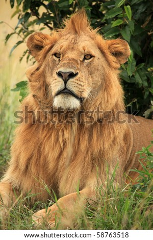 Male Lion in Africa - stock photo