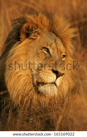 Male Lion in Grass - stock photo