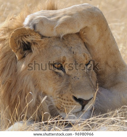 Male Lion in  Moremi game reserve in Botswana, Africa - stock photo