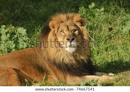 Male Lion in repose watching with intent in the setting sun - stock photo