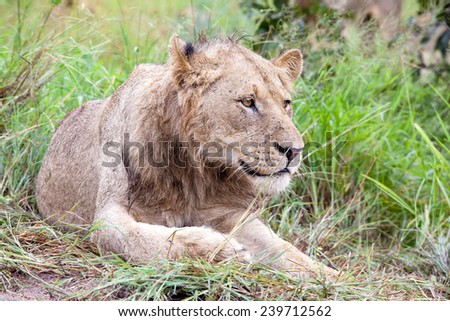 Male Lion in the bush. South Africa, Kruger National Park. - stock photo