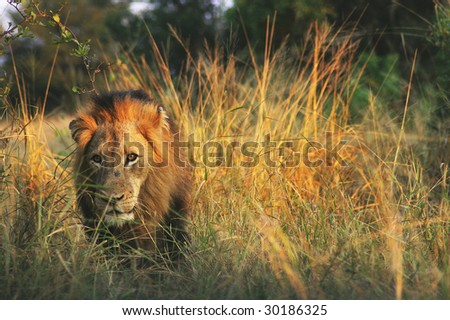 Male lion in the warm morning sun - stock photo