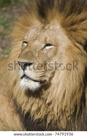 Male lion is often called the king of all animals