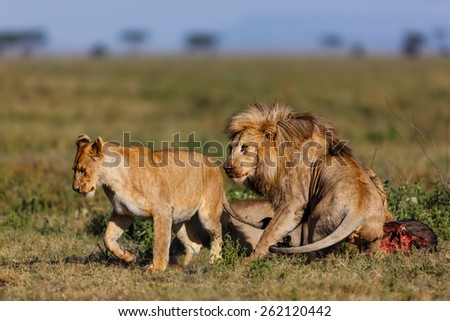 Male lion leaves his prey and follows a Lioness in Ngorongoro Conservation Area, Tanzania