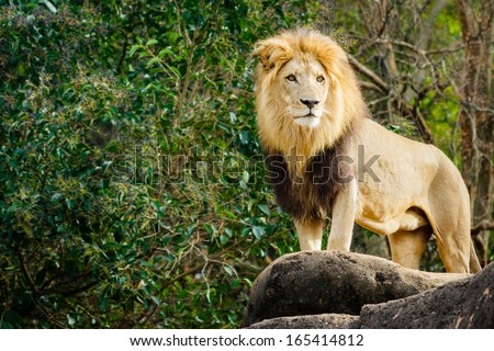Male lion looking out atop rocky outcrop with copy space - stock photo