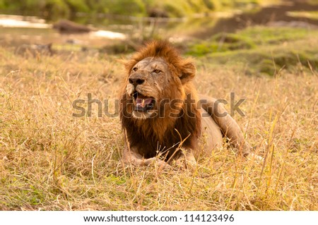 Male Lion lounging along the banks of the mighty Ruaha River. Ruaha National Park, Tanzania. - stock photo