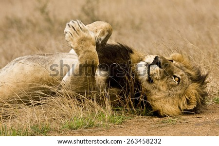 male lion lying down in the bush, Kruger, South Africa - stock photo