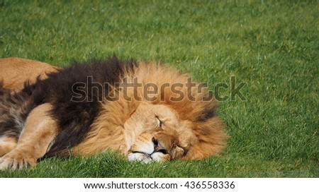 male lion on grass - stock photo