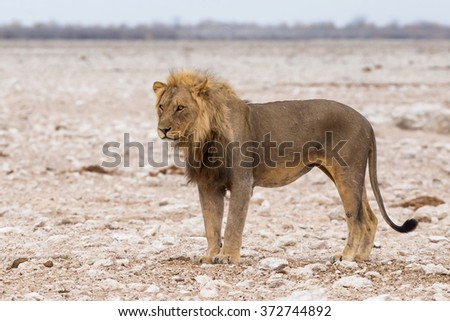 Male lion (Panthera leo) standing in the desert - stock photo