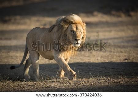 Male Lion patrolling territory in Ndutu, Serengeti, Tanzania - stock photo