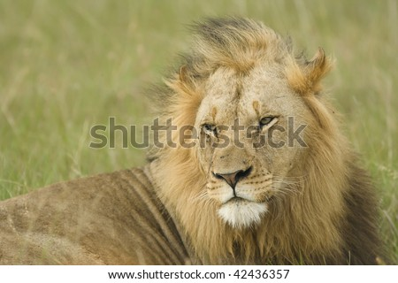 Male lion relaxes in wind - stock photo
