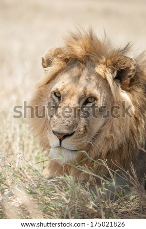 Male lion resting in Serengeti National Park, Tanzania.