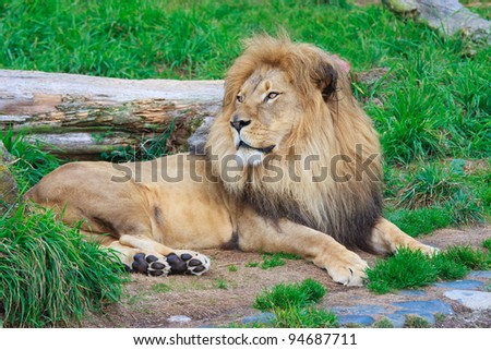 Male lion resting on a ground - stock photo