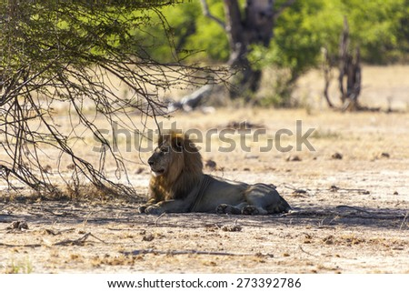 Male lion resting under a  tree - stock photo