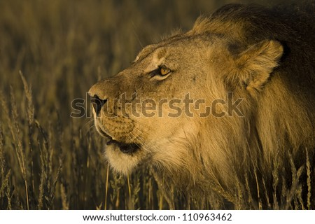 Male Lion Roar