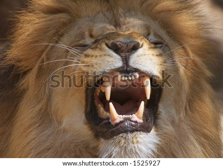 Male lion showing its teeth