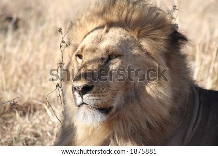 male lion sitting alertly, watching other lions in the vicinity but seemingly oblivious to our vehicle - stock photo