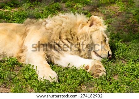 male lion sleeping on grass - stock photo