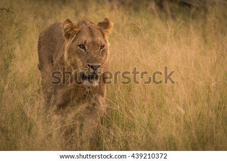 Male lion stalking prey in long grass