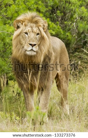 Male lion walking through some bush early in the morning - stock photo