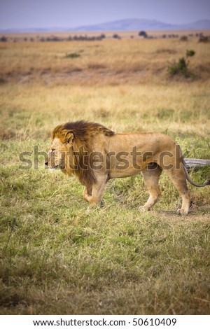 Male lion walking through the grassy plains of Africa. - stock photo