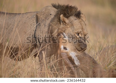 male lion with fresh red lechwe kill