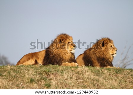 Male lions - stock photo