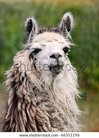Male llama turning to face the camera - stock photo
