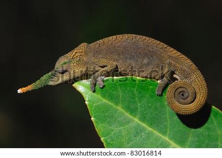 Male Long-nosed Chameleon (Calumma gallus) in the madagascan rainforest - stock photo