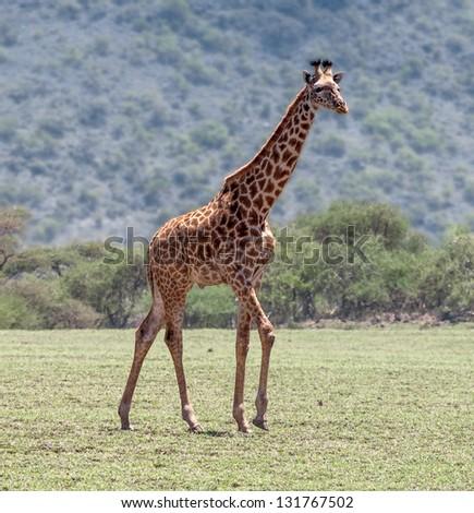 Male maasai giraffes in Crater Ngorongoro National Park - Tanzania, Eastern Africa - stock photo