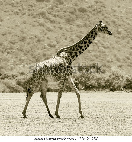 Male maasai giraffes in the Serengeti National Park - Tanzania, East Africa (stylized retro) - stock photo