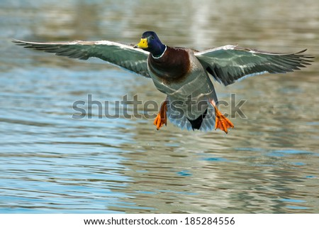 Male mallard coming in for a landing. - stock photo