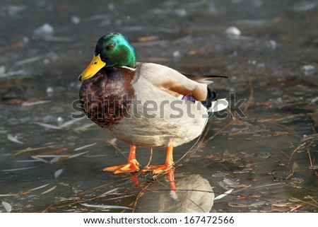 male mallard duck ( Anas platyrhynchos ) standing on frozen surface of the lake - stock photo