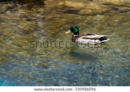 male Mallard duck in motion with green glossing head in  Bruce Peninsula National Park, Ontario, - stock photo
