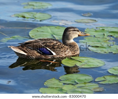 Male mallard duck swimming in the water amongst vegetation