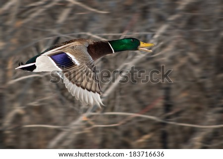 male mallard in flight with panning action to motion blur the background - stock photo