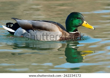 Male Mallard swimming in the open water. - stock photo