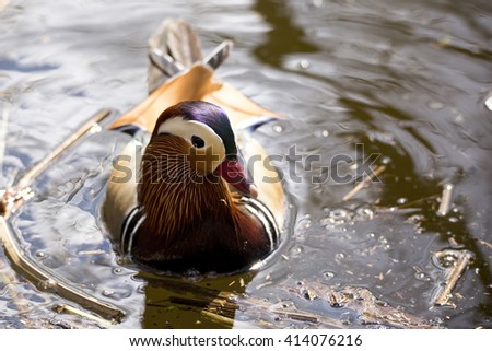 Male Mandarin duck (Aix galericulata) swimming in a duck pond, photographed from the front and above - stock photo
