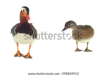 male mandarin duck isolated on white background. - stock photo