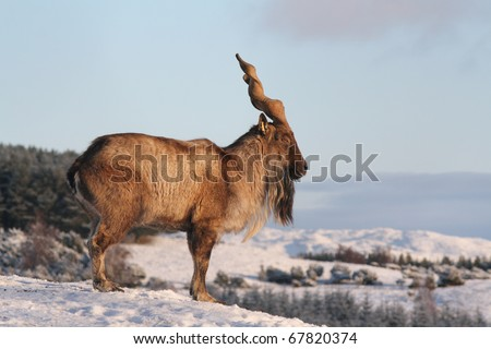 Male Markhor looking over a cliff edge
